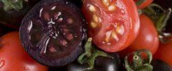 Rosiile violet, modificate genetic, contin un compus bogat in antioxidanti