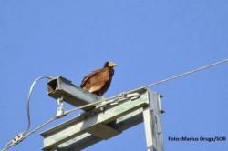 Vulturul-hoitar, specie pe cale de disparitie, fotografiat in Tulcea