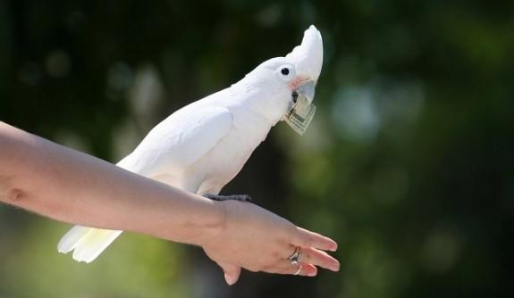 "Inteligen?a p?s?rilor ne uime?te din nou: papagalii pot fi ""sp?rg?tori profesioni?ti"""