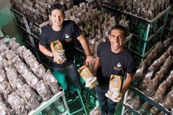 Cultura bio de ciuperci in zat de cafea