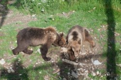 Migratia ursilor bruni din Maramures, studiu de caz WWF