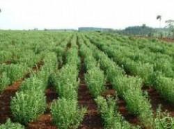 Plante medicinale precum anasonul ?i feniculul, produse ecologic la o ferm? din localitatea oltean? Potcoava