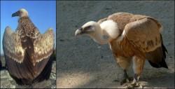 Reaparitia unui vultur sur, in zona comunei Carna, a starnit interesul ornitologilor craioveni