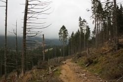 Schimbarile climatice distrug padurile de rasinoase din jurul Brasovului
