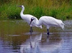 SUA: Eforturi mari pentru salvarea cocorului alb, cea mai mare pasare din America de Nord