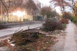 Garda de Mediu a amendat Primaria Timisoara pentru taieri ilegale de copaci
