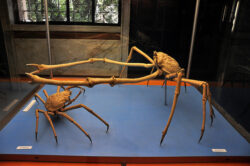 """Crabii-paianjen din padurile subacvatice, la Muzeul """"Antipa"""""""