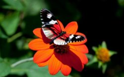 In perioada 1990-2011, in Europa, au disparut 50% din fluturii de pasune