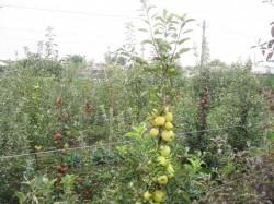 Pomicultura va primi o sustinere financiara prin PNDR, de aproximativ 200 milioane de euro