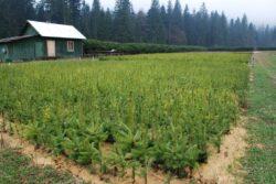 Romsilva va crea culturi specializate pentru pomii de Craciun, din 2014