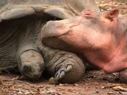 O prietenie neobisnuita dintre un pui de hipopotam si o broasca testoasa in varsta de 130 de ani