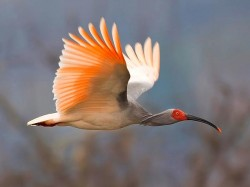 BirdLife International: Aproape 200 de specii de pasari sunt in pericol critic de disparitie!