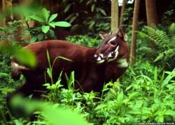 Unicornul asiatic, specie pe cale de disparitie, reperata pentru prima data in ultimul deceniu, in Vietnam