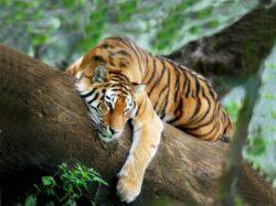 Cel putin zece tigri au fost ucisi intr-un oras din sudul Chinei, in timpul unor petreceri private