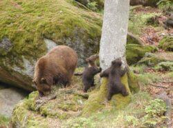 Prima autostrada ecologica din Romania: Cum faci ursul sa intre in tunel