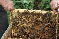 Autoritatile din SUA vor investi opt milioane de dolari in masuri de ameliorare a conditiilor de viata ale albinelor