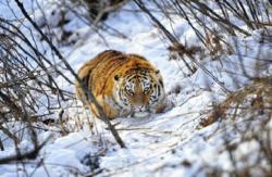 WWF ofera 60 de milioande de dolari Rusiei pentru protejarea felinelor mari pe cale de disparitie