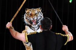 Animalele salbatice, interzise in circurile din Belgia