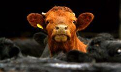 Comisia Europeana interzice clonarea animalelor in scopuri comerciale