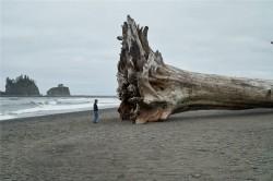 Cei mai mari si mai vechi arbori ai planetei, in pericol de disparitie