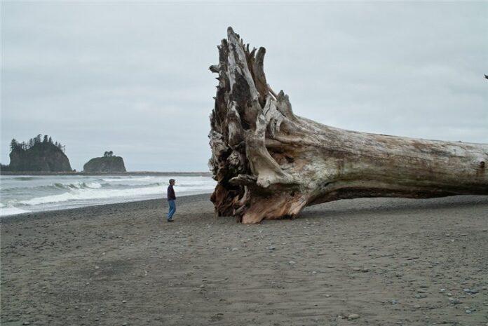 Cei mai mari ?i mai vechi arbori ai planetei, în pericol de dispari?ie
