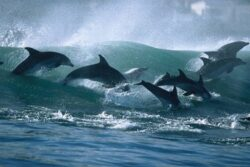 Peste 10.000 de delfini sunt ucisi anual doar pentru a fi folositi ca momeala pentru rechini