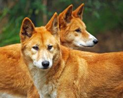 Australia: Cainii dingo sunt in pragul disparitiei