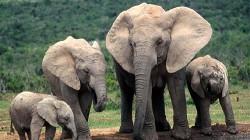 Africa si-ar putea pierde 20% din populatia de elefanti in urmatorii zece ani