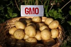 Tribunalul UE anuleaza decizia Comisiei Europene privind introducerea pe piata a unui cartof modificat genetic
