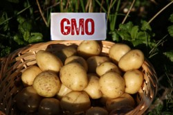 Liber la organisme modificate genetic, din 2015?