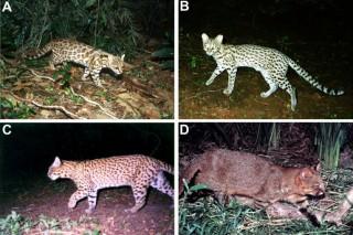 În Brazilia au descoperit o specie de feline necunoscut? pentru ?tiin??