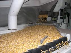 Fermierii braileni au cerut o derogare de la directiva UE care interzice anumite pesticide pentru tratarea semintelor