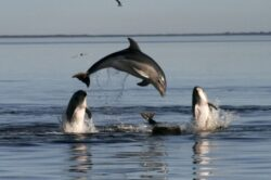 Pestele ton este important pentru sanatatea publica din zona Pacificului (studiu)ie de delfini