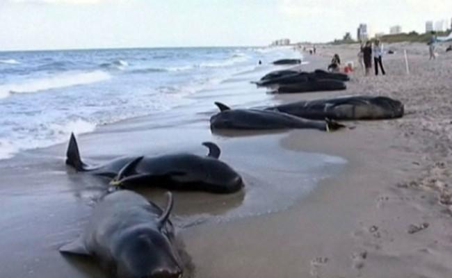Dezastru în Noua Zeeland?: 39 de balene e?uate