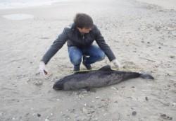 Proiect de salvare a delfinilor de pe coasta romaneasca