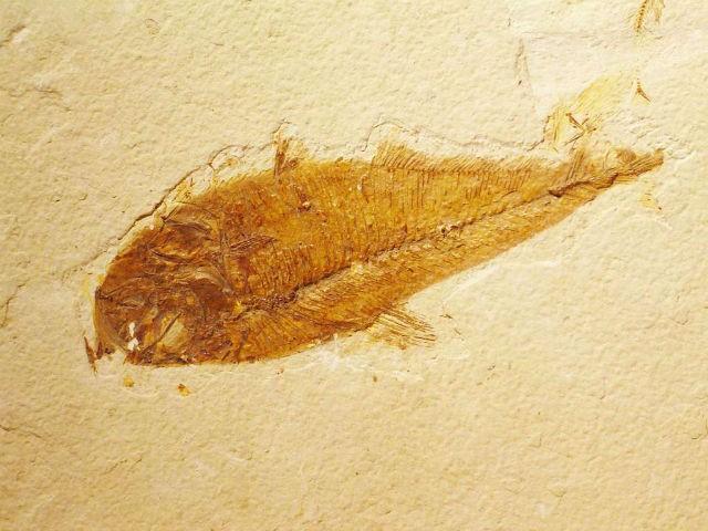 Stramosul comun al pestilor si al animalelor terestre a fost identificat