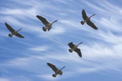 "De ce zboara pasarile migratoare intr-un stol in forma de ""V"""