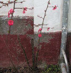 In Timis, graul are deja 40 de centimetri, iar intr-o curte a inflorit un gutui japonez