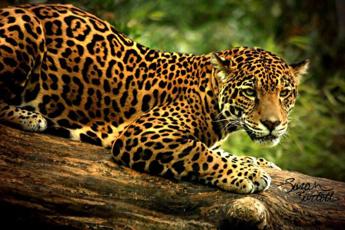 Brazilia: Disparitia jaguarilor pune in pericol existenta padurii tropicale atlantice