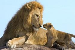In Africa occidentala mai exista doar 250 de lei adulti. Supravietuirea speciei este serios amenintata