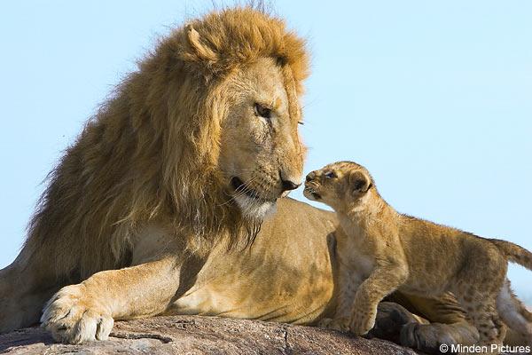 În Africa occidental? mai exist? doar 250 de lei adul?i. Supravie?uirea speciei este serios amenin?at?