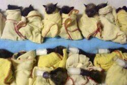 Dezastru ecologic in Australia: Liliecii mor in masa din cauza temperaturilor ridicate