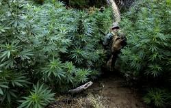 Consumul de marijuana mareste rezistenta creierului la traume