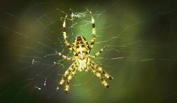 Descoperire extraordinara: paianjenii folosesc plase electrice pentru a-si prinde prada!