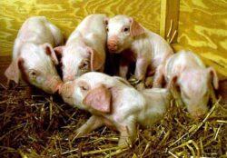 Reportaj BBC: Porcii sunt clonati in masa in China, pentru ca se aseamana cu oamenii
