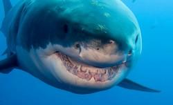 Studiu: Marii rechini albi ar putea trai peste 70 de ani