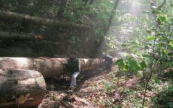 Ancheta Romsilva la Ocolul Silvic Livada: Gheorghe Bonat si complicii au exploatat ilegal lemn de circa 100.000 de euro