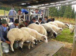 Oile de la stani, lasa fara hrana animalele din paduri