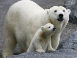 Ursul polar are de luptat cu schimbarile climatice: suporta greu caldura