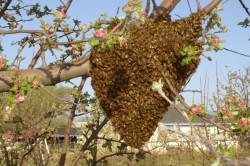 Studiu revolutionar: Albinele salbatice recicleaza plasticul. Il folosesc la construirea stupilor